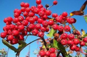 800px-Rowan-berries-in-October