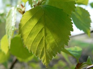 beautiful-birch-leaves