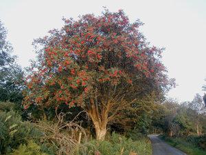 Rowan-tree-20081002b